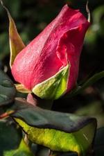 Red rose bud, leaves