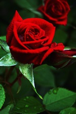 Preview iPhone wallpaper Red rose, green leaves, water drops