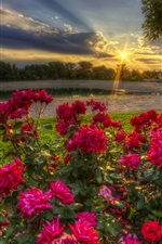 Red roses bloom, morning, sun rays