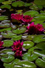 Preview iPhone wallpaper Red water lilies, pond, leaves