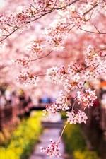 Sakura bloom, spring, Japan