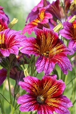 Salpiglossis, purple flowers bloom