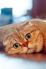 Preview iPhone wallpaper Scottish fold cat, look, lazy