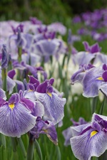 Preview iPhone wallpaper Some irises, purple flowers