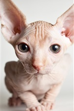 Preview iPhone wallpaper Sphynx cat front view, face, eyes
