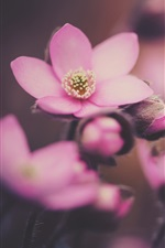 Preview iPhone wallpaper Spring, pink flowers macro photography