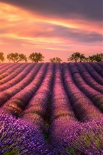 Preview iPhone wallpaper Summer, lavender fields, trees, sunset