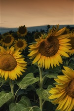 Sunflowers at evening
