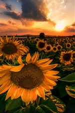 Preview iPhone wallpaper Sunflowers, sunset