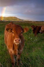 Preview iPhone wallpaper Three brown cows, grass, meadow