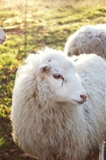 Preview iPhone wallpaper Three sheeps, wool