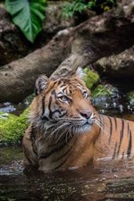 Preview iPhone wallpaper Tiger in water, bathing