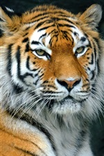 Preview iPhone wallpaper Tiger rest, predator, face, eyes