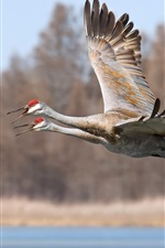 Preview iPhone wallpaper Two birds, flight, sandhill cranes