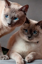 Preview iPhone wallpaper Two cats, blue eyes