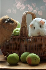 Two cute guinea pigs, rodents, apples