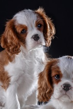 Preview iPhone wallpaper Two cute puppies, furry dog, black background