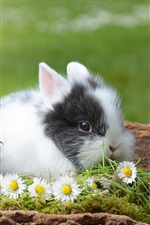 Preview iPhone wallpaper Two cute rabbits and chamomile