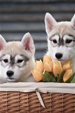 Preview iPhone wallpaper Two dogs, husky, basket, tulips