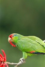 Preview iPhone wallpaper Two green parrots, red flower