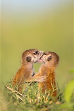 Preview iPhone wallpaper Two meerkats play games, wildlife