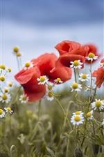 White chamomiles, red poppies
