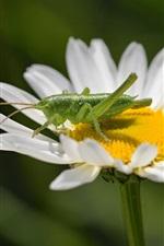 White flower, petals, grasshopper, chamomile