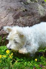 Cão peludo branco, flores amarelas
