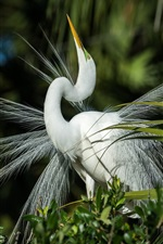 Preview iPhone wallpaper White heron look up, feathers