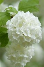 미리보기 iPhone 배경 화면 흰색 수국, 꽃차례