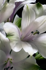 White lily flowers, black background