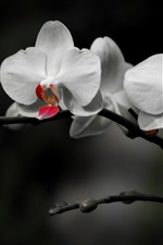 Preview iPhone wallpaper White phalaenopsis, black background