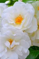 Preview iPhone wallpaper White roses, flowers, spring