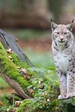 Preview iPhone wallpaper Wild cat, lynx, trees, moss