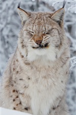 Preview iPhone wallpaper Wild cat, lynx, winter, snow