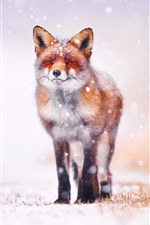 Winter, fox front view, snow