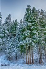 Winter, spruce forest, snow