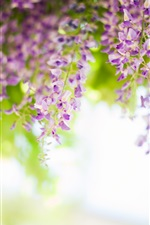 Preview iPhone wallpaper Wisteria, flowers, spring