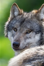 Preview iPhone wallpaper Wolf look back, rest