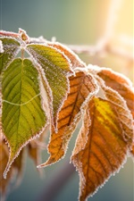 Yellow leaves, frost, autumn