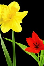 Yellow narcissus, red tulip, blue viper onion, flowers, black background
