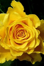 Preview iPhone wallpaper Yellow rose macro photography
