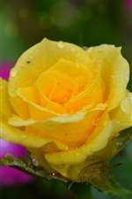 Yellow rose, water droplets