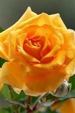 Preview iPhone wallpaper Yellow roses macro photography