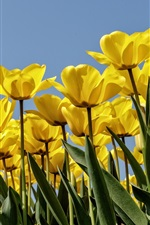 Preview iPhone wallpaper Yellow tulips, blue sky