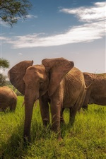 Preview iPhone wallpaper Africa, Tanzania, elephants, grass