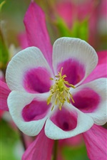 Preview iPhone wallpaper Aquilegia, pink flowers, spring