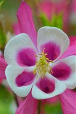 iPhone壁紙のプレビュー アクィルギア、ピンクの花、春