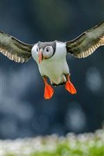 미리보기 iPhone 배경 화면 대서양 펭귄 비행, 날개