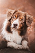 Preview iPhone wallpaper Australian shepherd, dog, look up